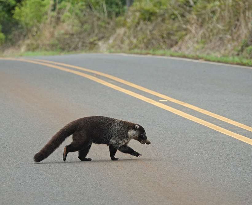 coati op de weg in Guanacaste