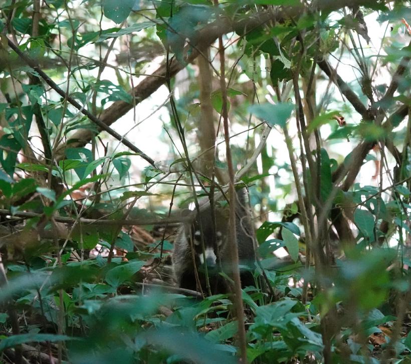 coati in natuurreservaat Nosara