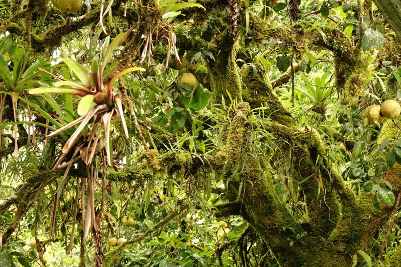 pompelmoes in vochtig regenwoud Dos Rios