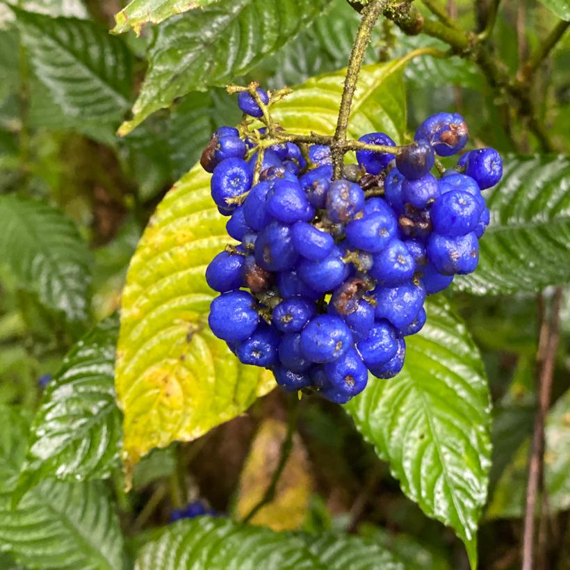 blauwe besjes in regenwoud Dos Rios
