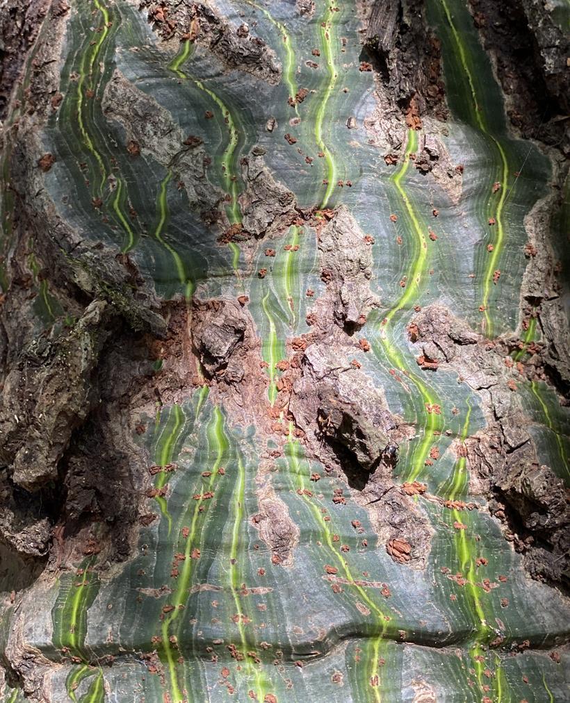 stam met groene strepen in natuurreservaat Nosara