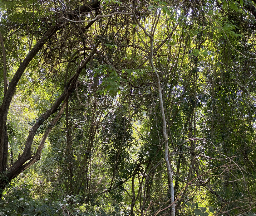 groen woud aan Playa Iguanita