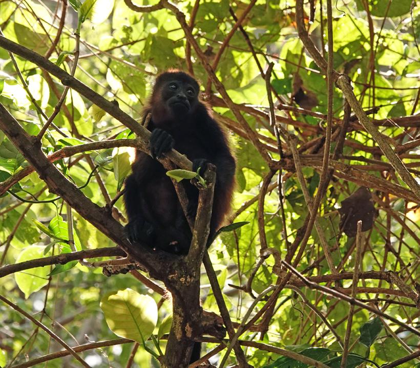 jonge brulaap bomen in natuurreservaat Nosara