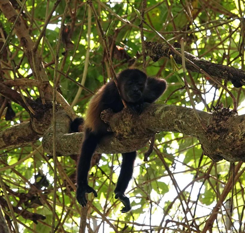 brulaap in boom langs Nosara rivier