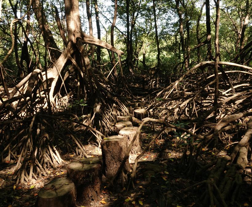 mangrove in natuurreservaat Nosara