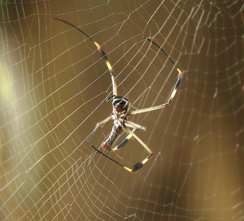 orb weaver in spinneweb