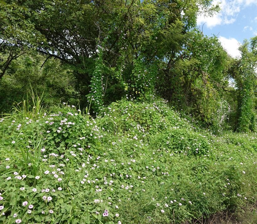 veldbloemen in bomen Iguanita Guanacaste