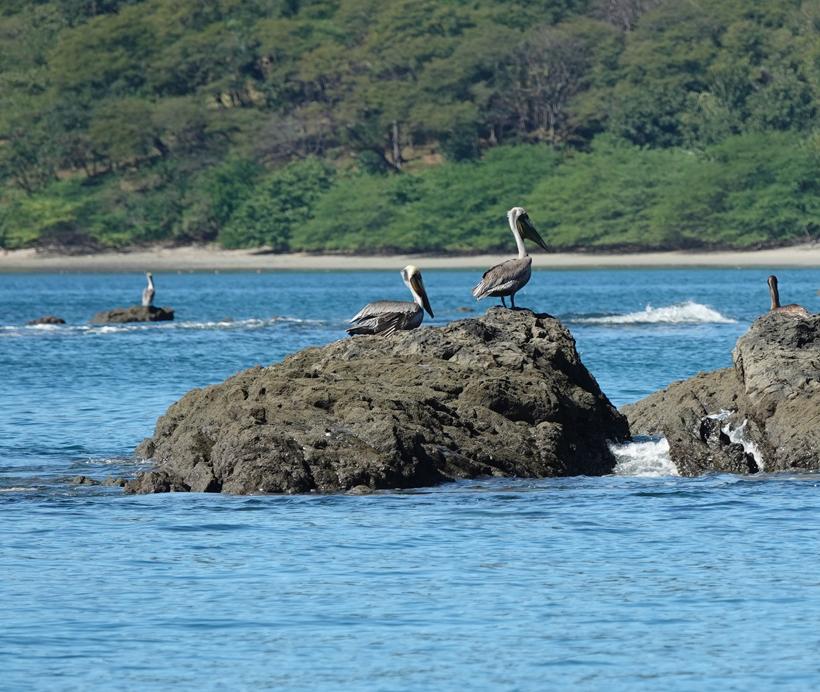 pelikanen Golf van Papagyao Gold Coast