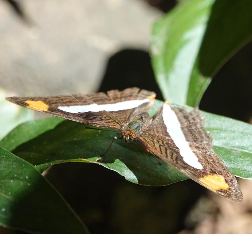 vlinder wit oranje Costa Rica