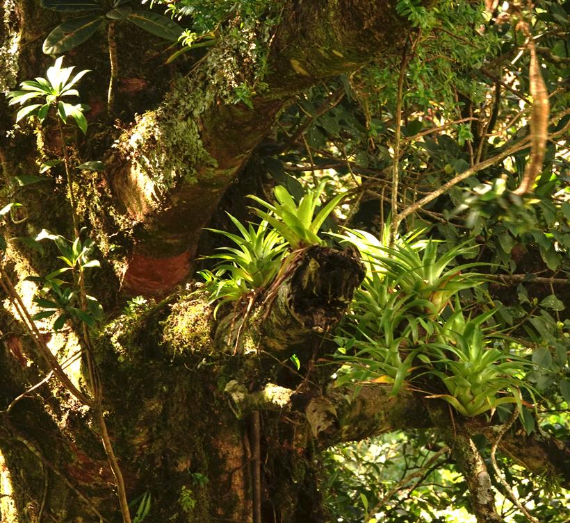 bromelias in Monteverde