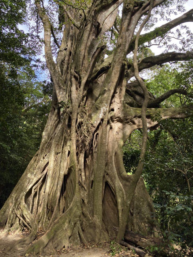 Ficus in Curi Cancha Monteverde