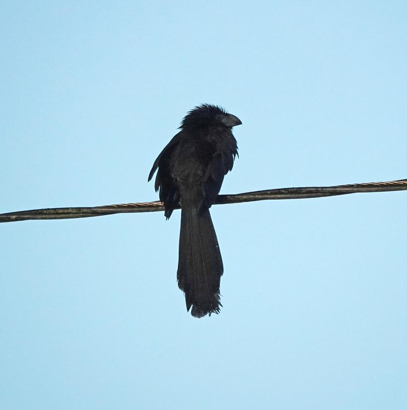 blue black grossbeak vogel Costa Rica