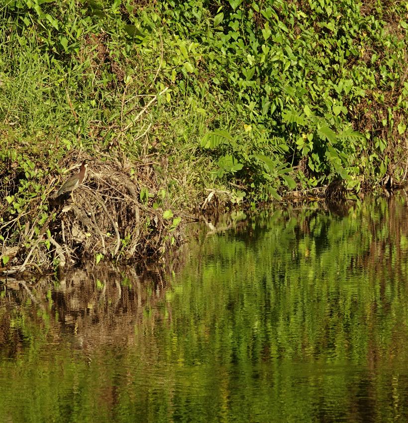 groene reiger in het groene Costa Rica
