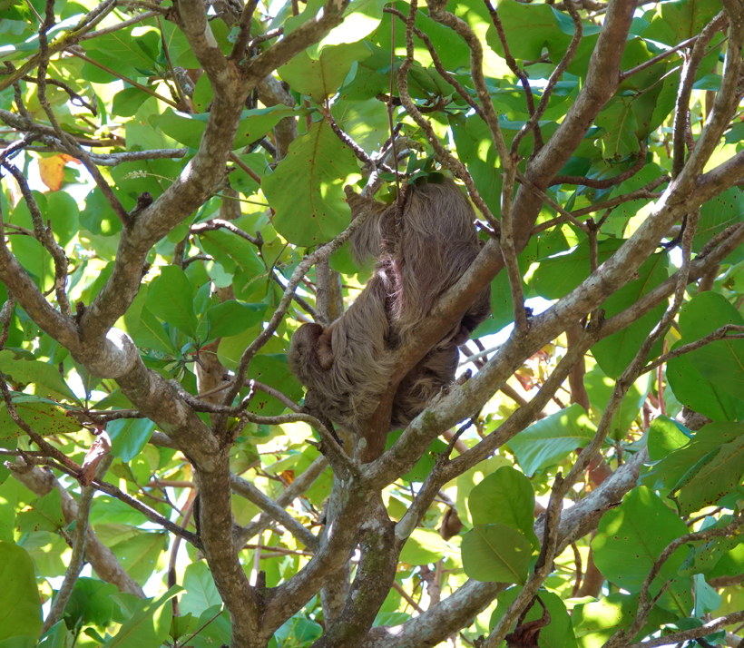 luiaard in boom bij Natuwa