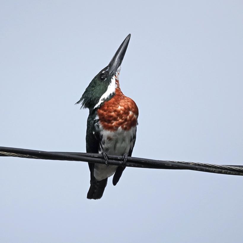 reuzenijsvogel Costa Rica