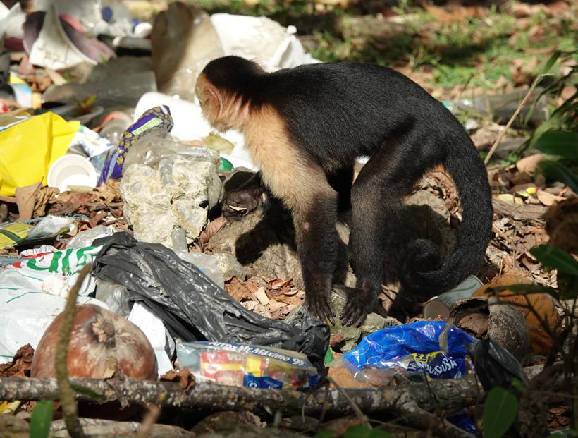 kapucijn zoekt in afval