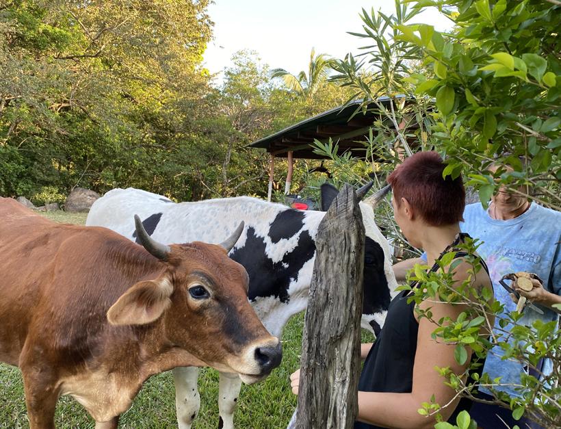 koeien banaan geven in Finca Pipilacha