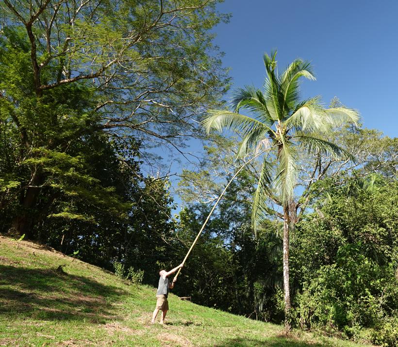 kokosnoot plukken in jungle hideaway San Ramon