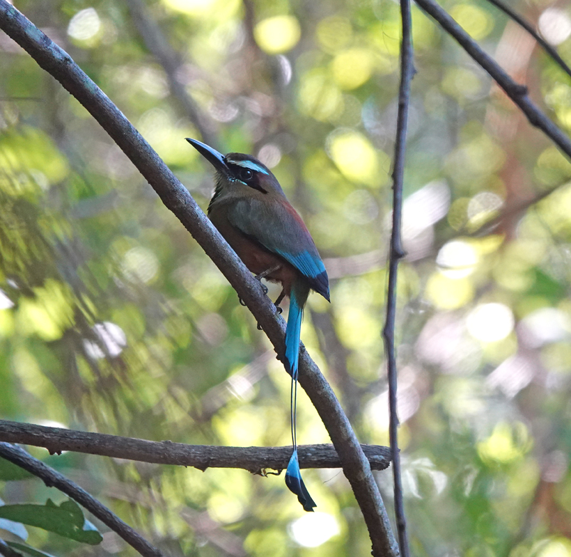 motmot in Diria Nationaal Park