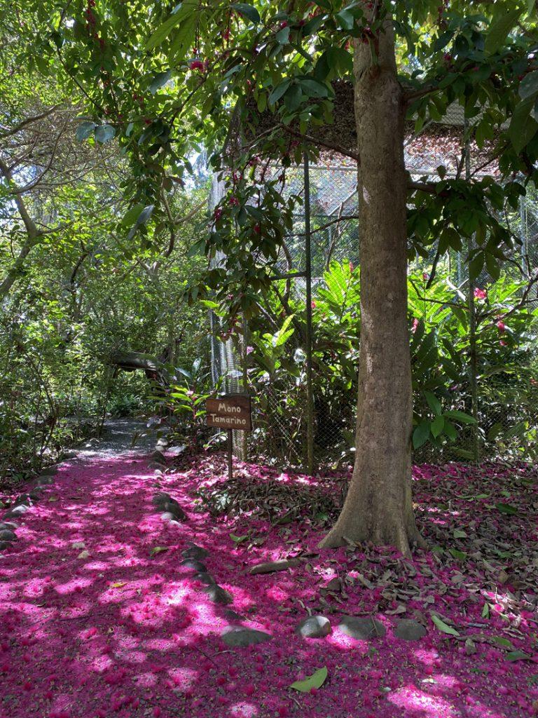 roze bloemblaadjes boom Manzana de agua bij Natuwa