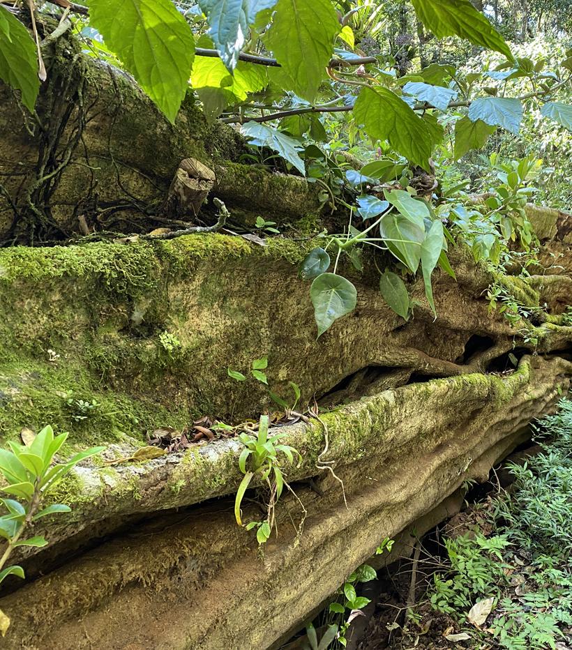 bos in Monteverde