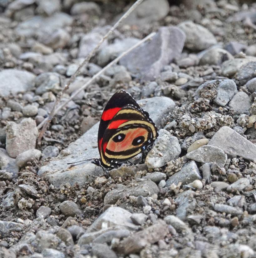 rood zwart vlindertje in Nicoya