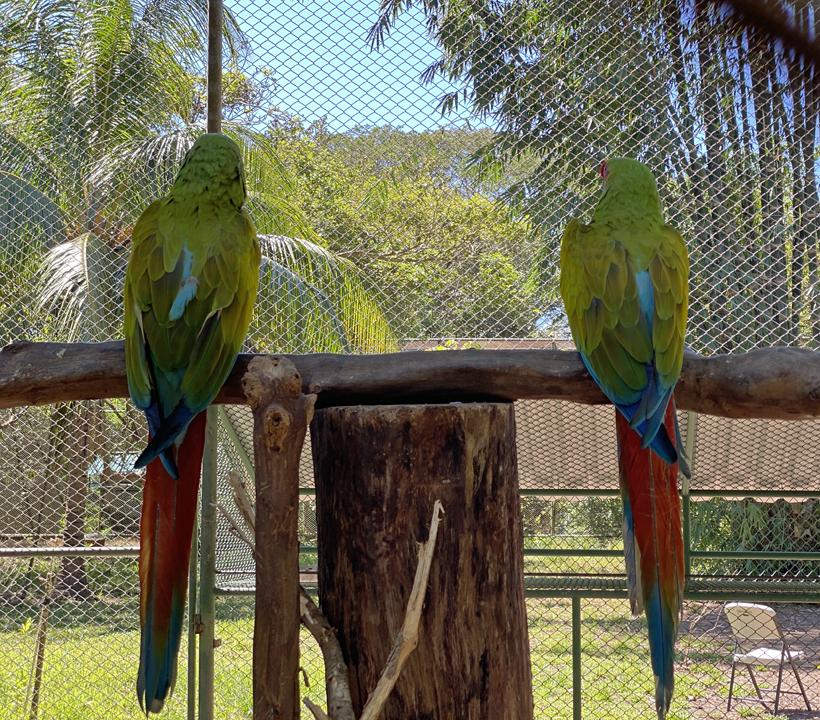groene macaws bij Natuwa
