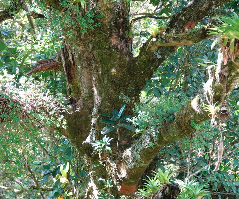 sprookjesboom nevelwoud Monteverde