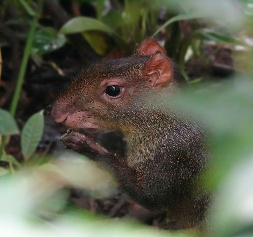 agouti in Hacienda Baru