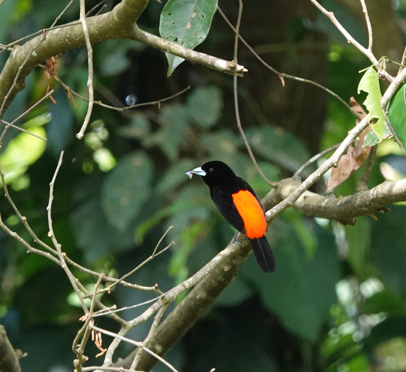 vogel Cherrie's tanager in Hacienda Baru