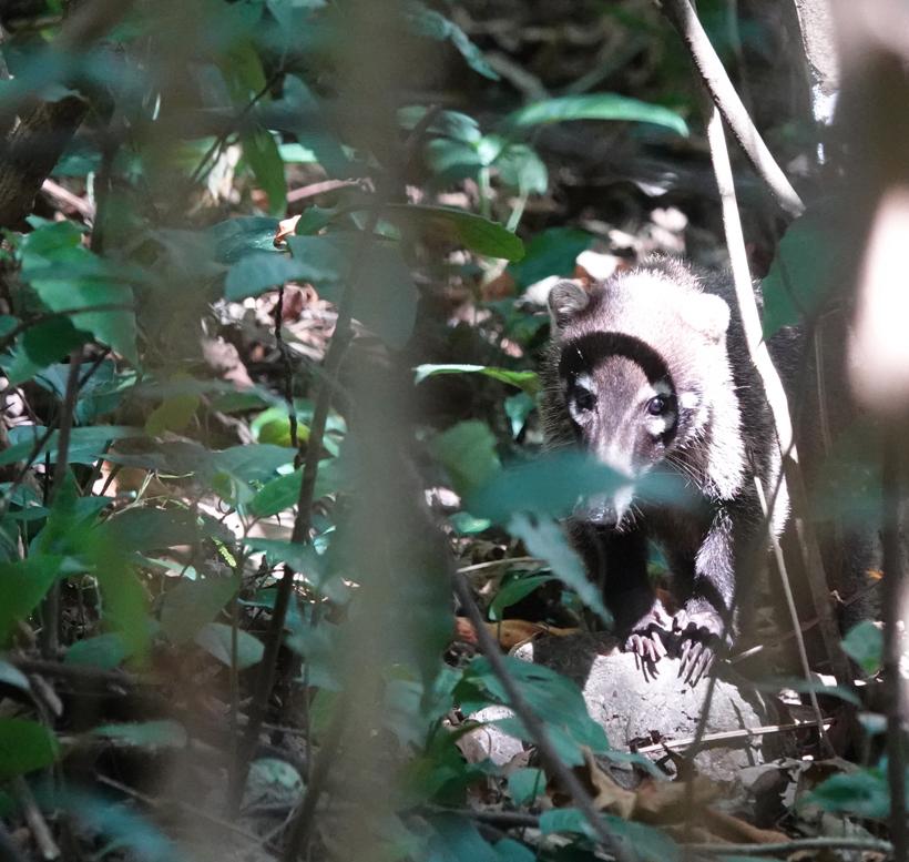 coati in Costa Rica