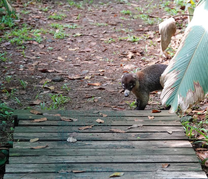 coati op wandelpad Hacienda Baru