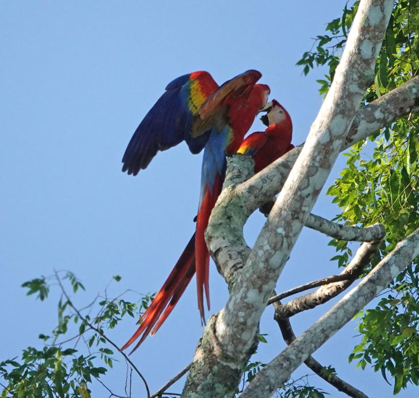 kibbelende macaws