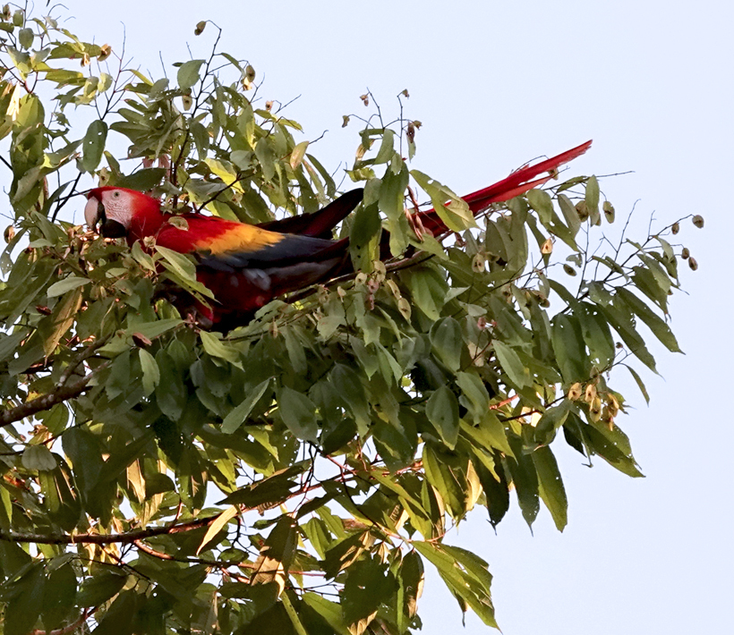 Scarlet Macaw in boom
