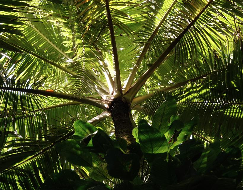 palmboom in Baru