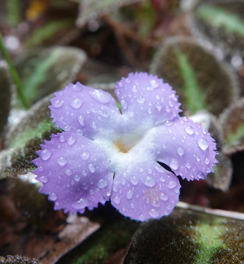 paars bloempje regenwoud Osa