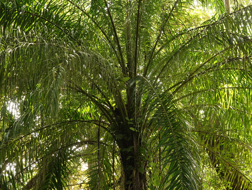 palm in Hacienda Baru