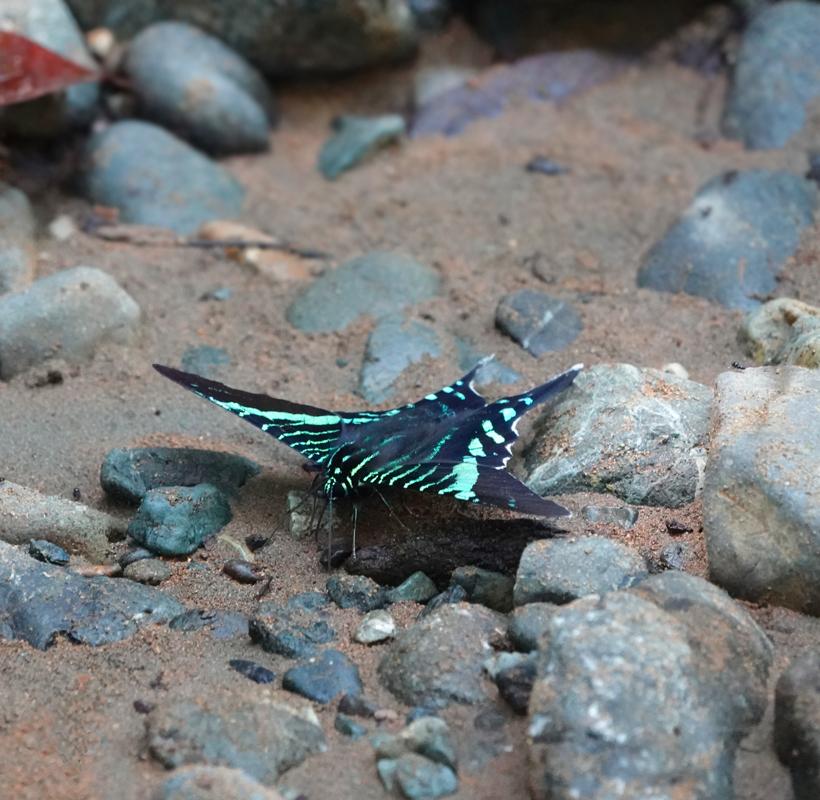 vlinder met turquoise streepjes Golfo Dulce