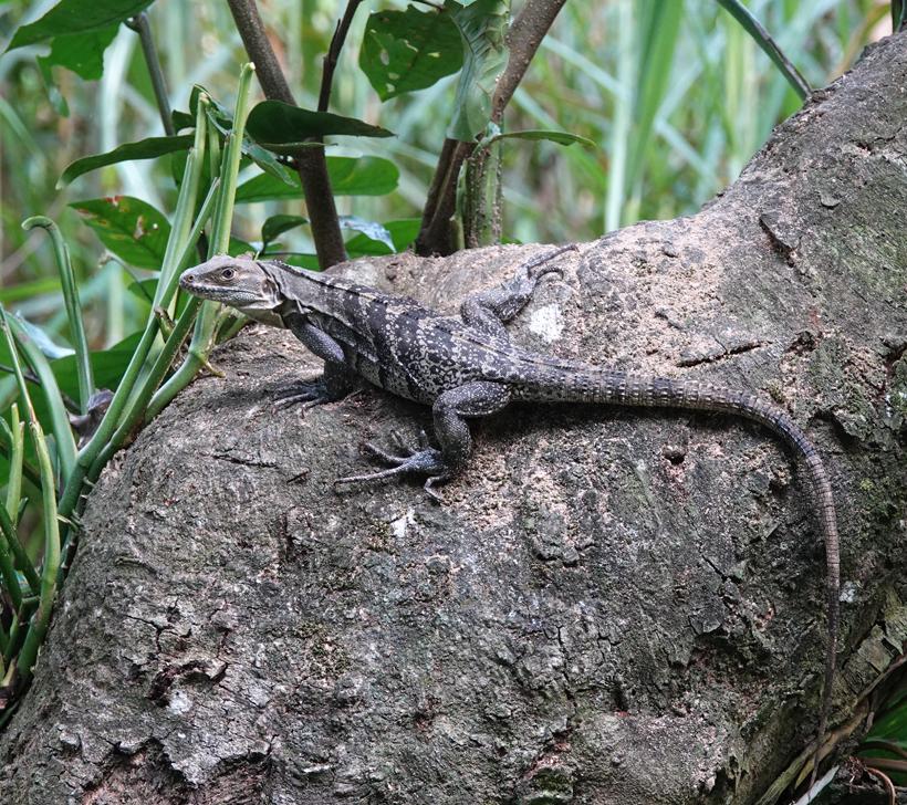 spiny tailed iguana Baru
