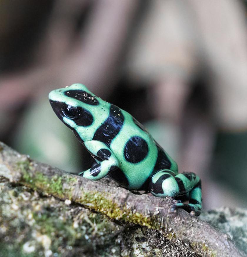 gifkikkertje groen zwart