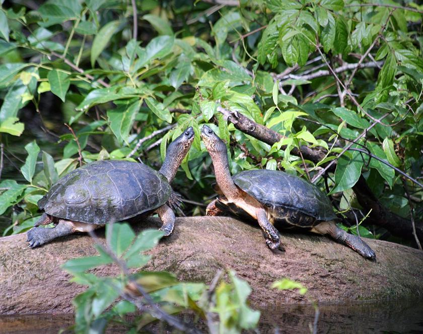 rivierschildpad tortuguero