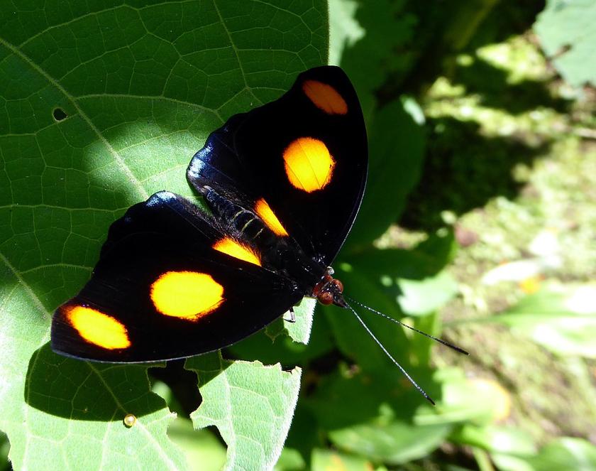 vlinder met oranje stippen